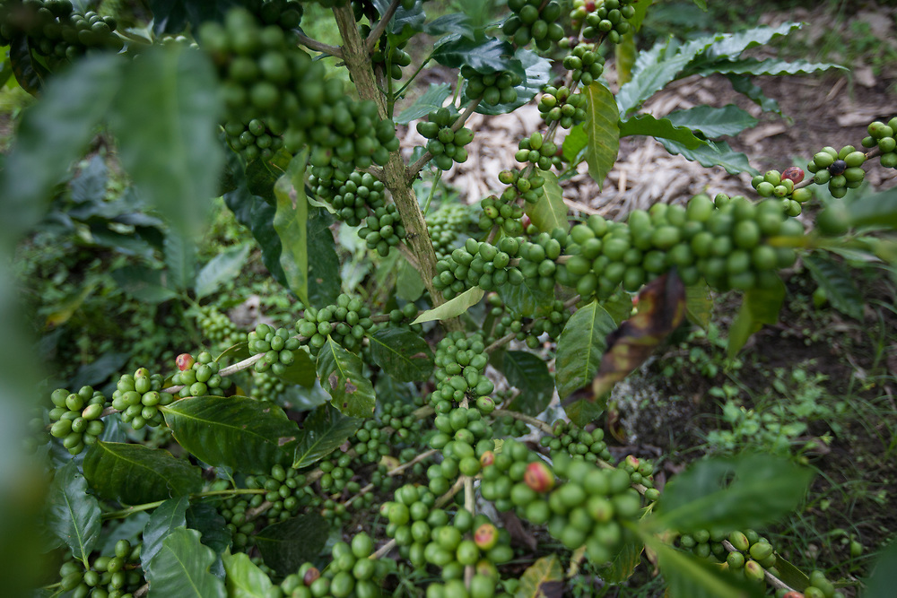 Coffee bushes very heavily-laden with coffee cherries about a month before harvest. Fairtrade-certified Cooperatives El Gorrión and Polo are Fairtrade-certified coffee producers in San Sebastián de Yalí, Jinotega, Nicaragua.