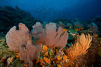 Seamount covered in diverse sea fans, soft corals, sponges and other invertebrate life.  School of Pacific Spadefish in background.<br /><br /><br />Contreras Islands<br />Coiba National Park<br />Panama<br /><br />Roller Coaster dive site
