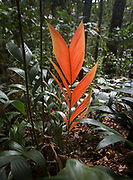 Jatata (Geonoma deversa) leaves are used for roofing. Some have a red color.