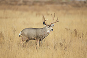 Mule deer Trophy mule deer buck during the autumn rut