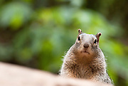 A squirrel peers over a rock in Zion National Park, Utah. Missoula Photographer