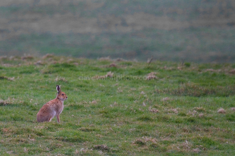 Irish Mountain Hare, Lepus timidus hibernicus, in field near the Cliffs of Moher,  Liscannor, Co. Clare..
