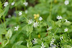 Bosmuur, Stellaria nemorum