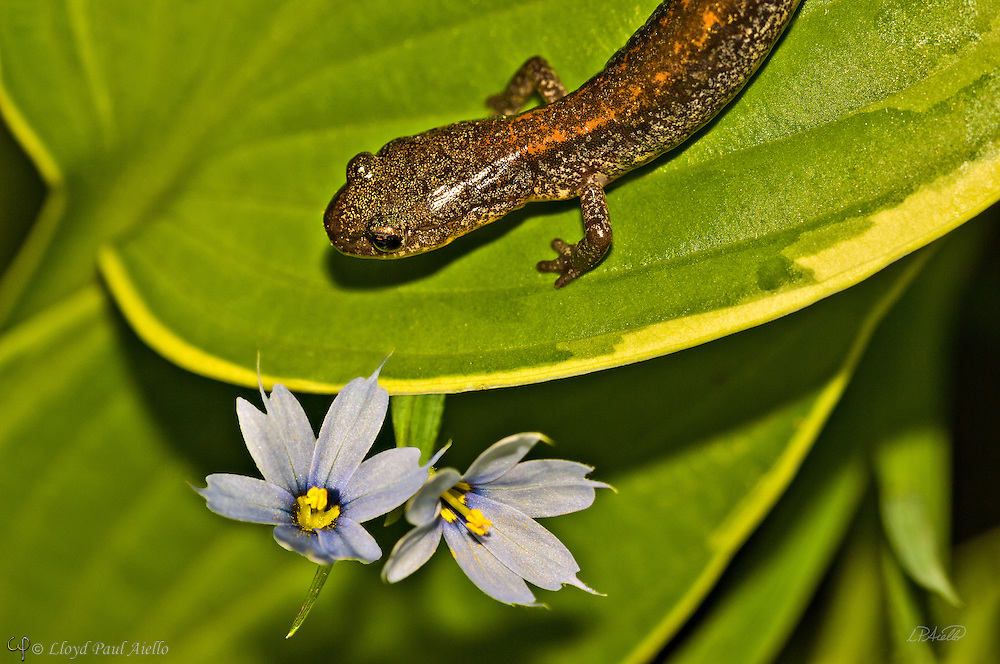 """An Eastern Red-backed Salamander (Plethoon cinereus) walks across the leaf of an """"Iceberg"""" Hosta near a flowering Blue-eyed grass (Sisyrinchium angustifolium).  This small salamander is found throughout the northeast United States.  It is lungless, and breathes through its moist skin. Unlike many salamanders, it spends its entire life on land, and lays its eggs on the moist forest floor. The young skip the typical aquatic stage and emerge as tiny terrestrial salamanders. (Focus stack of two individual images.)"""