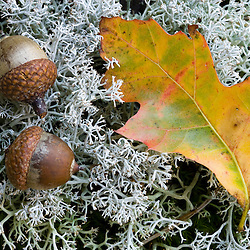 Acorns and an oak leaf on reindeer lichen on Hubbard Hill in New Hampshire's Pisgah State Park. Chesterfield, New Hampshire.