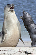 Southern Elephant Seal - Mirounga leonina - fighting