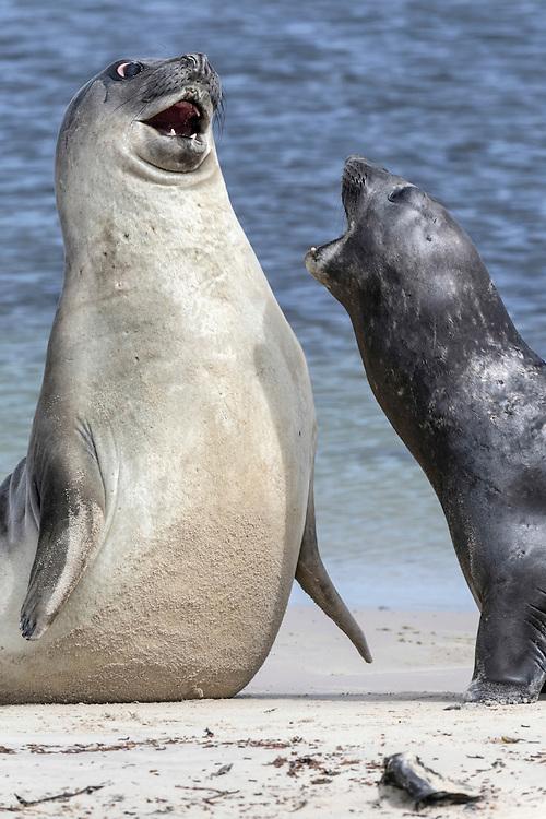 Southern Elephant Seal - Mirounga leonina - fighting
