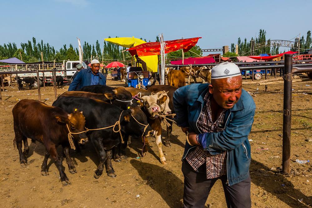 Cattle being traded, The Sunday Livestock market just outside Kashgar (China's westernmost city), Xinjiang Province, China. Kashgar is along the Silk Road, near Tajikistan and Pakistan.