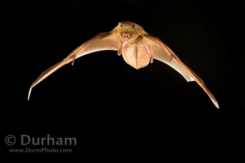 Northern Yellow Bat (Lasiurus intermedius) flying, Texas.