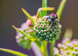 As the name suggests, the Japanese beetle is native to Japan. The insect was first found in the United States in 1916 in a nursery near Riverton, New Jersey. It is thought the beetle larvae entered the United States in a shipment of iris bulbs prior to 1912, when inspections of commodities entering the country began.