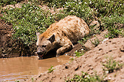 Spotted Hyena (Crocuta crocuta) Near Water. Photographed in Tanzania
