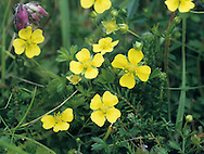 TORMENTIL Potentilla erecta (Rosaceae) Height to 30cm<br /> Creeping, downy perennial of grassy places, heaths and moors. FLOWERS are 7-11mm across with 4 yellow petals; borne on slender stalks (May-Sep). FRUITS are dry and papery. LEAVES are unstalked and trifoliate, but appear 5-lobed because of two large, leaflet-like stipules at the base.