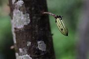 Very young cocoa pod. COCABO: Junquito, Almirante, Changuinola, Bocas del Toro, Panamá. September 1, 2012.
