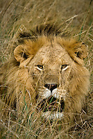 A close up of a lone male lion resting in the mid-day heat in the Masai Mara National Park, Kenya