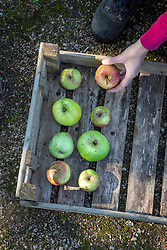 Harvesting apples and storing them in trays making sure they don't touch each other.