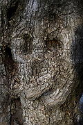Human face is viewed in a natural growing tree trunk Pareidolia is the tendency for incorrect perception of a stimulus as an object, pattern or meaning known to the observer, such as seeing shapes in clouds, seeing faces in inanimate objects or abstract patterns, or hearing hidden messages in music. Pareidolia can be considered a subcategory of apophenia. Pareidolia was at one time considered a symptom of human psychosis, but it is now seen as a normal human tendency.