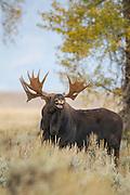 Bull moose during autumn rut in Wyoming
