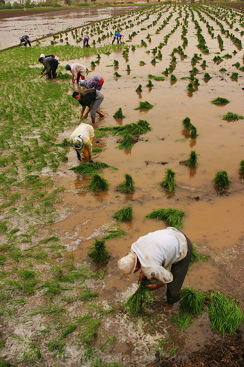 Planting rice near Alexandria, Egypt. (Supporting image from the project Hungry Planet: What the World Eats.).