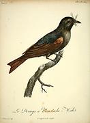 Drongo a moustache from the Book Histoire naturelle des oiseaux d'Afrique [Natural History of birds of Africa] Volume 4, by Le Vaillant, Francois, 1753-1824; Publish in Paris by Chez J.J. Fuchs, libraire 1805