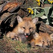 Red Fox, (Vulpus fulva)  Kits at entrance of den. Montana.  Captive Animal.