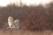 Barn owl (Tyto alba) hunting over meadow. Surrey, UK.