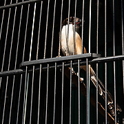 Long-tailed shrike, Lanius schach, for sale in the bird market