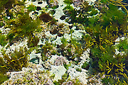 White lichen and seaweed in rockpool, Kilkee, County Clare, West Coast of Ireland