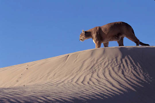 Mountain Lion or Cougar, (Felis concolor) Adult in the sand dunes of the Little Sahara. Utah.  Captive Animal.