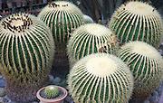 Golden Barrel Cactus Echinocactus Grusonii at the Palermo Botanical Garden (Orto botanico di Palermo), Palermo, Sicily, Italy