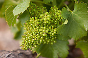 Young grapes at a vineyard, Cadière d'Azur near Bandol, France
