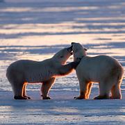 Polar Bear (Ursus maritimus)Two sub adults ready to spar/play fight near Cape Churchill, Manitoba along the frozen Hudson Bay. Canada. Winter.
