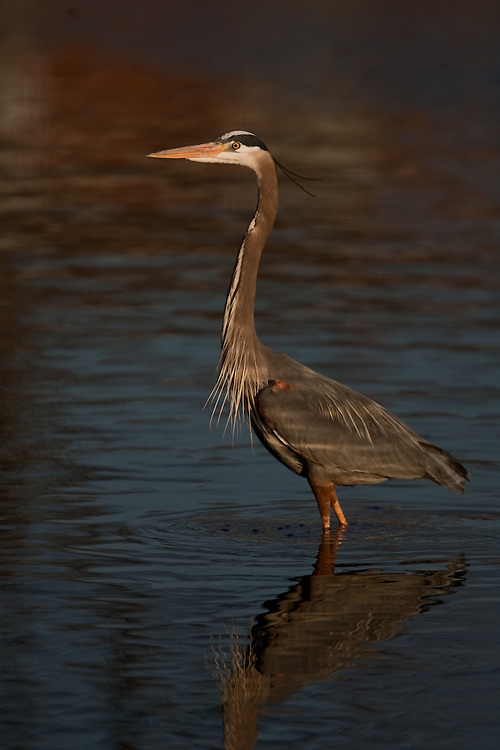 Great Blue Heron fishing in a New Jersey Shore pond on a summer afternoon