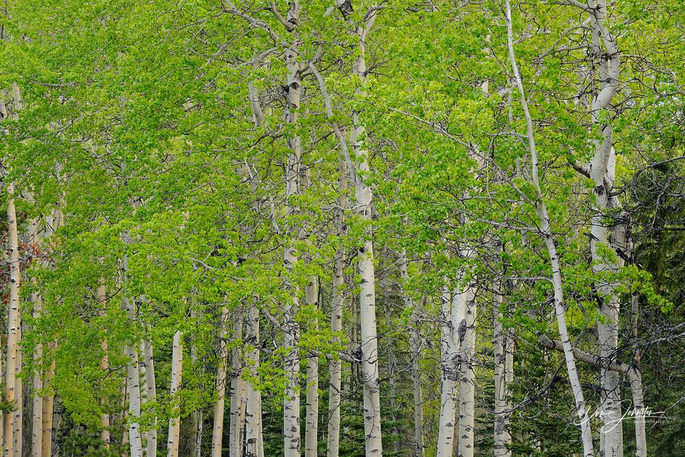 Trembling aspen woodlot along Pyramid Lake Road, Jasper National Park, Alberta, Canada
