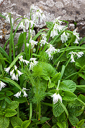 Triangular stalked Garlic or Three cornered Garlic growing at the base of a wall. Allium triquetrum