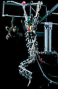 "Hanging from a network of cables, Brachiator III quickly swings from ""branch"" to ""branch"" like the long-armed ape it was modeled on. (Brachiator refers to ""brachiation,"" moving by swinging from one hold to another.) The robot, which was built in the laboratory of Toshio Fukuda at Nagoya University (Japan), has no sensors on its body. Instead, it tracks its own movements with video cameras located about four meters away. Brightly colored balls attached to the machine help the cameras discern its position. Brachiator's computer, which is adjacent to the camera, takes in the video images of the machine's progress and uses this data to send instructions to the machine's arms and legs. From the book Robo sapiens: Evolution of a New Species, page 87."