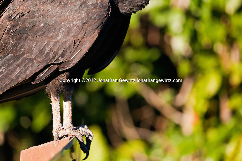 The body and legs of a Black Vulture (Coragyps atratus) perched on a road sign in Everglades National Park, Florida. WATERMARKS WILL NOT APPEAR ON PRINTS OR LICENSED IMAGES.