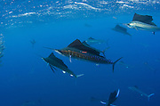 Atlantic Sailfish (Istiophorus albicans) hunting Sardines. Sailfish bodied tagged from catch and release fishing.<br /> Isla Mujeres<br /> MEXICO<br /> RANGE: Atlantic Oceans & Caribbean SEa