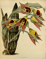 The botanical cabinet<br /> London :John & Arthur Arch ...,1817-1833.<br /> https://biodiversitylibrary.org/page/28887860
