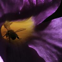 Bee inside a trumpet flower
