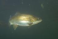 Steelhead Trout, Dog River near Wawa Ontario<br /> <br /> Roger Peterson/ENGBRETSON UNDERWATER PHOTO