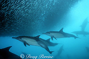 long-beaked common dolphins, Delphinus capensis, feed on a baitball of sardines, Sardinops sagax, during the annual Sardine Run up the east coast of South Africa ( Indian Ocean )