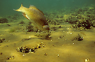 Smallmouth Bass eating crayfish<br /> <br /> ENGBRETSON UNDERWATER PHOTO