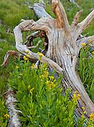 Arrowleaf Groundsel and Pine Snag,Yosemite National Park, California
