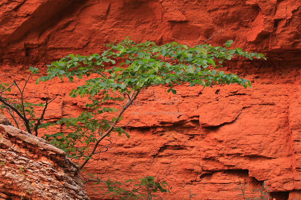 Saddle Canyon Small Tree