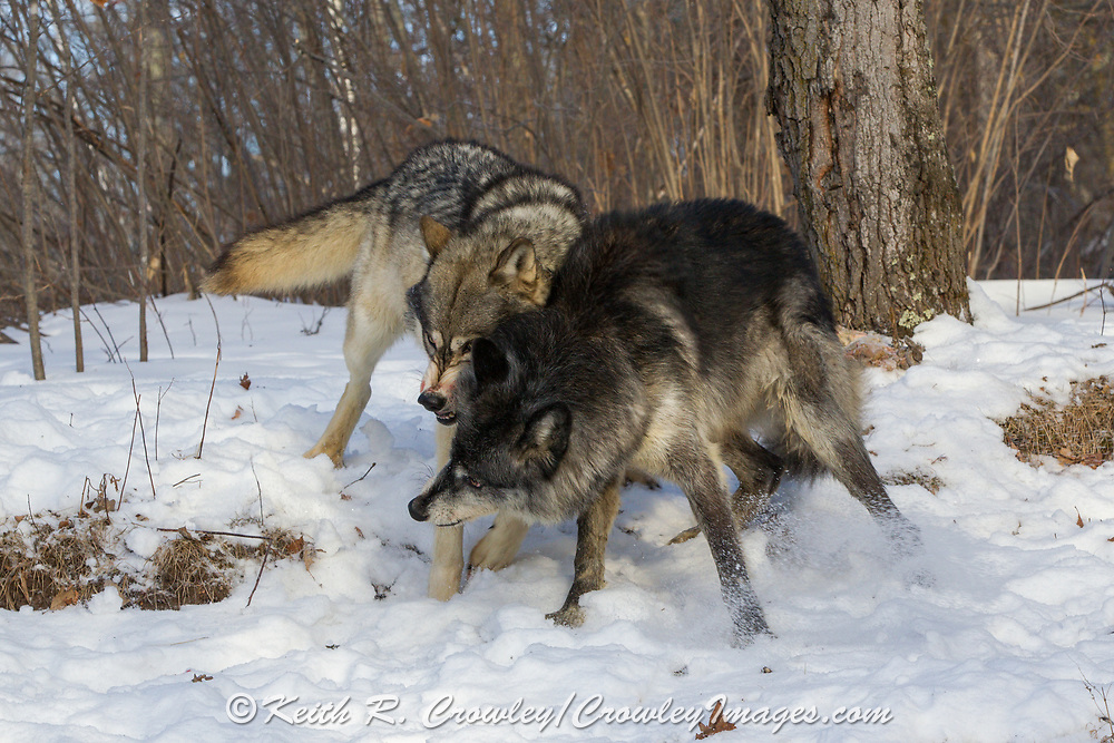 A black wolf and a gray wolf fight for dominance at a deer kill in winter habitat. Captive pack.