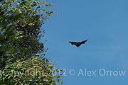 Fruit bats, Kandy Botanic Garden, Sri Lanka
