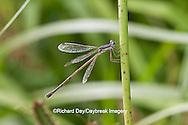 06036-00102 Slender Spreadwing Damselfly (Lestes rectangularis) in wetland, Marion Co., IL