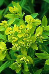Euphorbia palustris - Milkweed, spurge
