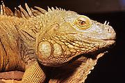 common green IGUANA, Iguana iguana
