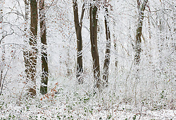 Hoar frost on trees in woodland near Birdlip on a snowy winter's morning